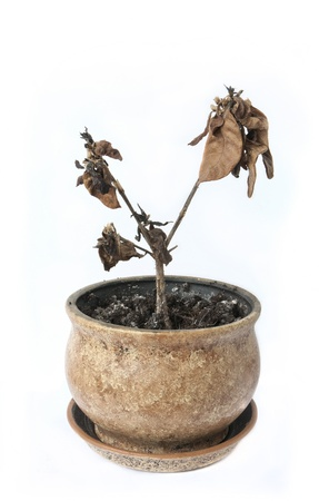 dode bladeren: verwelkte potplant