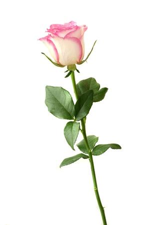 long stem roses: pink and white rose against white