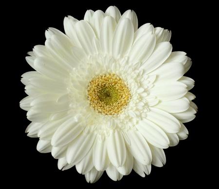 Gerbera: white gerbera flower against black background