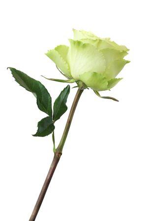 long stem roses: yellow rose against white background Stock Photo