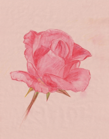 old pencil: tender pink rose flower watercolor pencil drawing