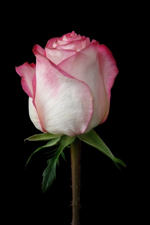 rose bud: pink and white rose bud on black Stock Photo