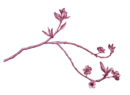 blooming sakura branch - detailed pencil drawing in shades of pink