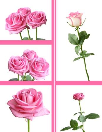 long stem roses: tender pink rose flowers set against white Stock Photo