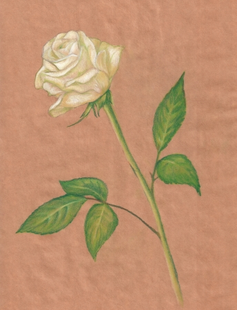 long stem roses: white rose pastel drawing - brown paper background Stock Photo