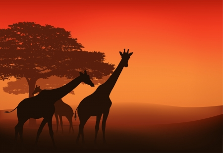 camelopardalis: giraffes walking in african savannah at sunset - evening landscape