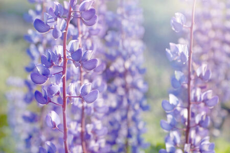 lupine: shallow DOF purple lupine flowers blooming field background - summer meadow