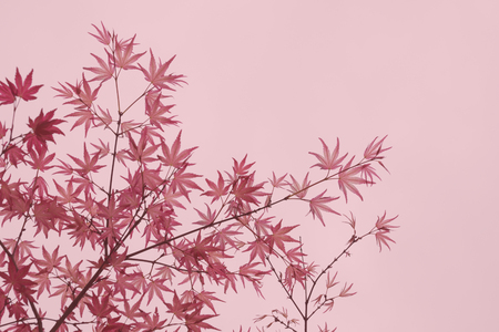 palmatum: foliage background with pink leaves of maple tree (Acer Palmatum Shindeshojo)