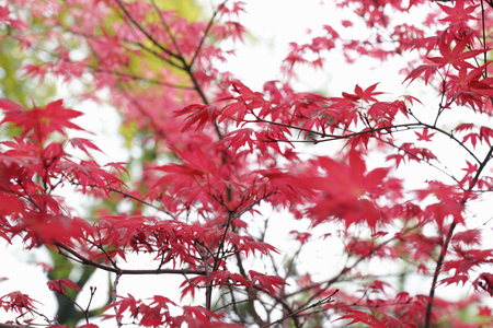 palmatum: shallow DOF foliage background with red leaves of maple tree (Acer Palmatum Shindeshojo)