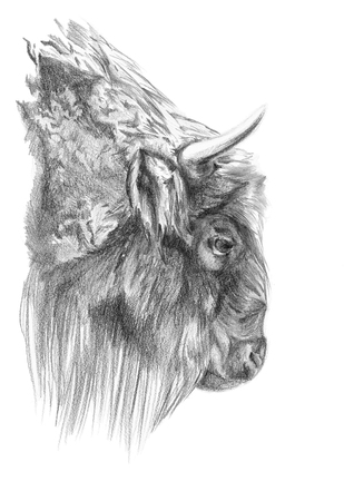 bison profile head pencil drawing with paper texture Stok Fotoğraf
