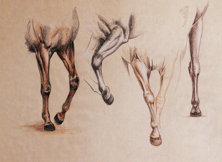 hoofed mammal: horse front legs in motion - vintage looking anatomy sketch on a toned paper
