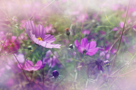 background purple: shallow DOF cosmos flowers background - purple flowers among grass in the garden Stock Photo