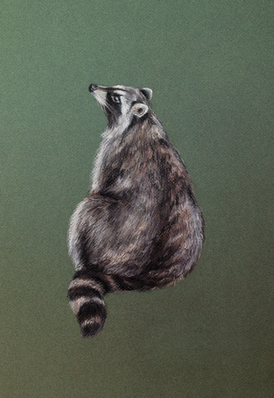 pastel colour: wild raccoon on green - pastel drawn animal with detailed paper texture