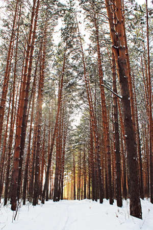 View to the peaceful winter forest with the tall trees. Vertical outdoors shot.