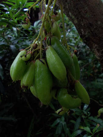 Bilimbi on tree photo