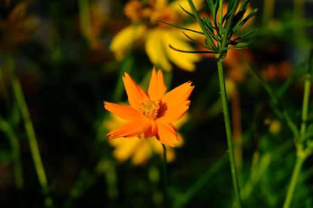 Cosmos sulphureus is also known as sulfur cosmos and yellow cosmos. this flower is in the garden Banco de Imagens