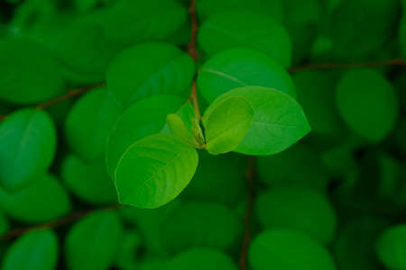 The leaves are one of the plant organs that grow from twigs, green in color containing chlorophyll and mainly function as a catcher of energy from sunlight for photosynthesis.