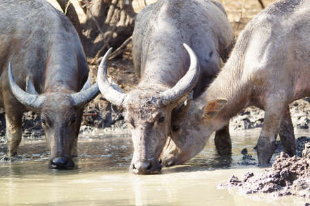 Water buffalo (Bubalus bubalis) or domestic water buffalo is a large bovid originating in the Indian subcontinent, Southeast Asia, and China. This animal is bathing in a mud pool in the park.