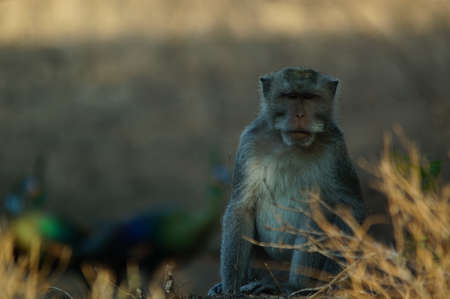 long macaque on a land