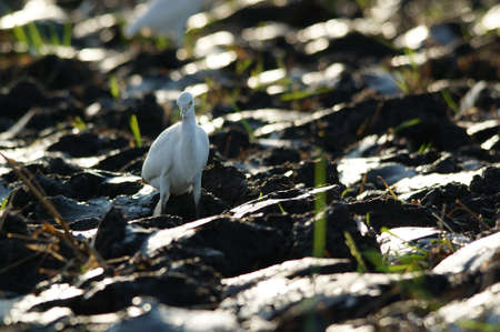 cattle egret are looking for food in the fields