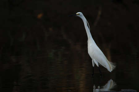 little egret are looking for food in rivers or lakes