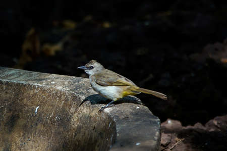 yellow-vented bulbul perches on the ground