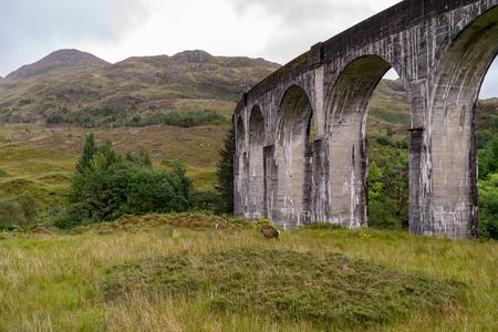 A dear near the famous Glenfinnan Railway Viaduct in Scotland
