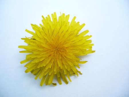medical  plant: diente de le�n, hierba medicinal esta planta registros m�dicos de miel jarabe macro y bueno para el t�,