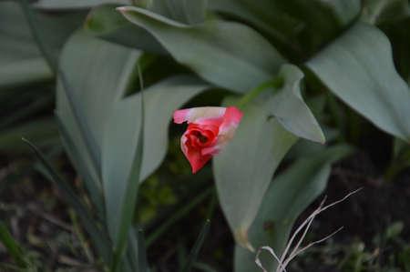 Stil life  flowers bud tulip,this flowers bud tulip not picked Stock Photo