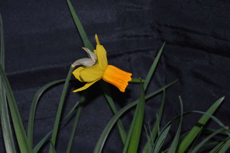 Stillife  flowers  yellow narcissus,This flowers not picked Stock Photo