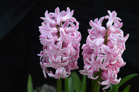 Stil life flower hyacinth.This flowers hyacinth not picked