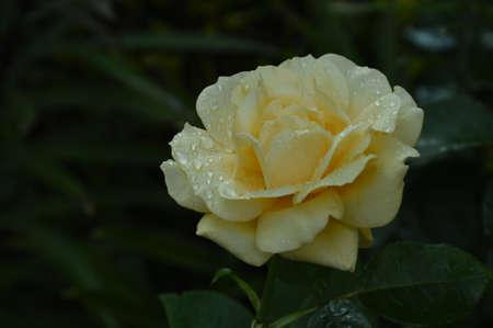 macro rain drops on flowers Stock Photo