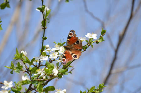 Spring has arrived and this butterfly landed on vit blooming fruit trees