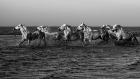 camargue: White horses in swamps of Camargue