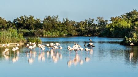 animal behavior: Flamingos in the National Park of Camague, France