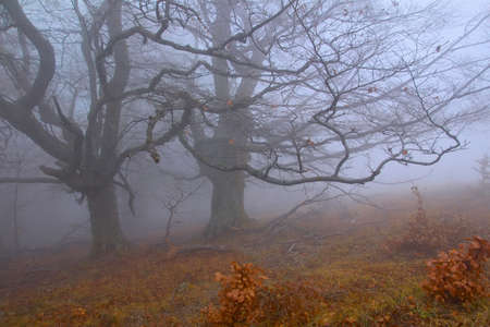 Mysterious trees  in the misty forest Stock Photo