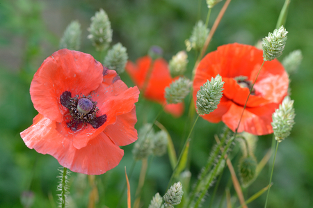 canariensis: A fading Flanders poppy flower Papaver rhoeas amongst younger poppies and seeding canary grass Phalaris canariensis
