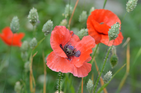 canariensis: A fading Flanders poppy flower Papaver rhoeas with other poppies and seeding canary grass Phalaris canariensis