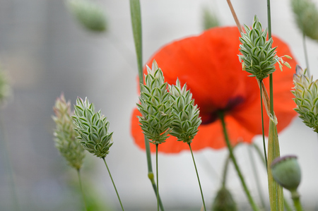 Beautiful canary grass seed heads Phalaris canariensis in an atmospheric misty field with a lone dreamy red corn poppy flower Papaver rhoeas.