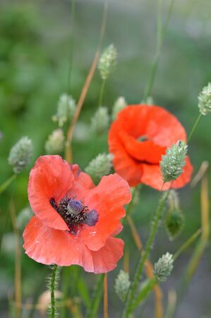 canariensis: A fading Flanders poppy flower Papaver rhoeas with another poppy and seeding canary grass Phalaris canariensis