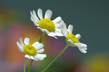 relieve: Three daisy like Feverfew flowers Tanacetum parthenium with hippy style background. A herb traditionally used to relieve the pain and nausea associated with migraines. Stock Photo