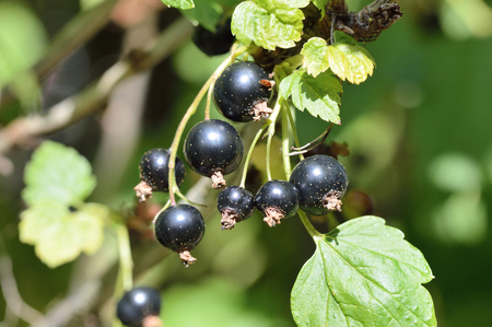 ribes: Blackcurrants growing on the bush. Ripe and ready to pick. Ribes nigrum.