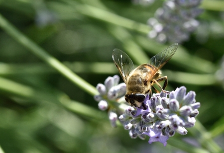 lavandula angustifolia: Close up of a Hoverfly feeding on lavender flowers Lavandula angustifolia. Stock Photo