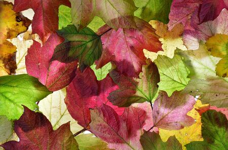 Back lit autumn fall leaves. Background texture. In shades of pink and green.