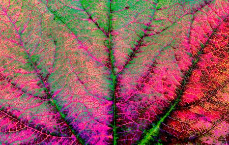 pinks: Close up background texture of leaf veins, colour effects applied for psychedelic greens and pinks. Stock Photo