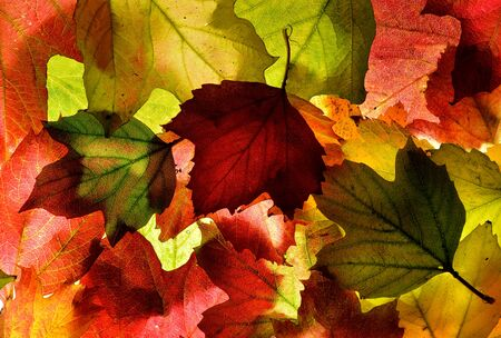 Back lit autumn fall leaves. Background texture. In shades of red, green and gold. Stock Photo