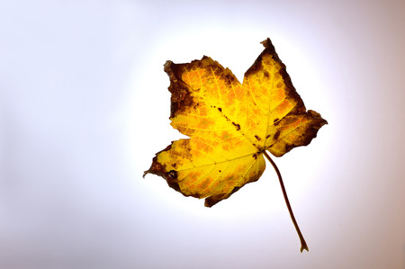 Autumn fall sycamore leaf falling through the sky, backlit by the sun on a foggy morning. Stock Photo