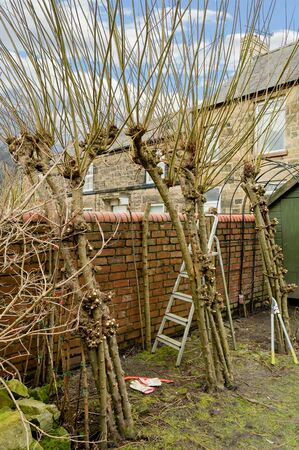 way of living: Winter pruning of living willow pergola. Part way through cutting back of last years growth to leave just the framework.