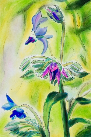 officinalis: Original pen and ink and pastel painting of Borage flowers. (Borago officinalis). Vertical.