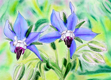 officinalis: Original pen and ink and pastel painting of two blue Borage flowers. (Borago officinalis)